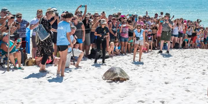 Sea turtle release at Fort Pickens, Pensacola Beach.